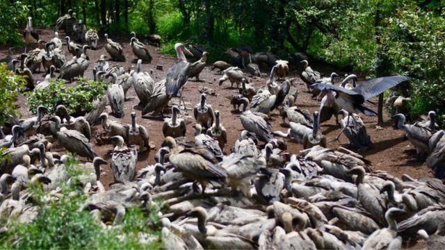 秃鹫是群居生物,成群进食。