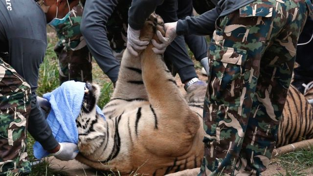 Thai National Park officials move a tiger after it was tranquilized to be moved from the Tiger Temple in Kanchanaburi province, Thailand, 30 May 2016.
