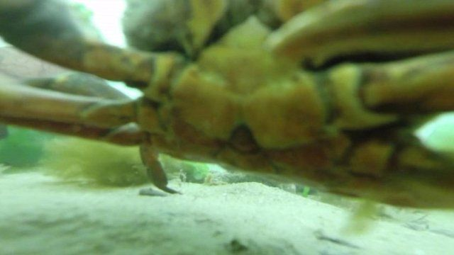 A crab filmed on a GoPro in the sea