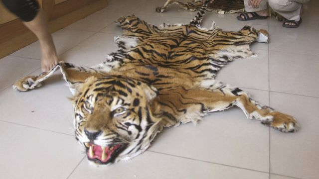 Tiger skin (Image courtesy of Traffic)