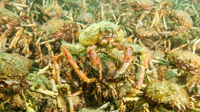 Caranguejos gigantes no mar da Austrália
