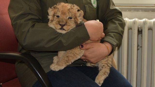 Homem segura filhote de leão
