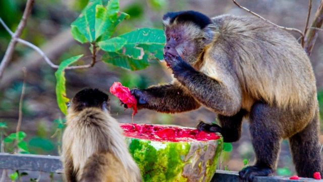 Macacos se alimentando de melancia deixada por voluntários