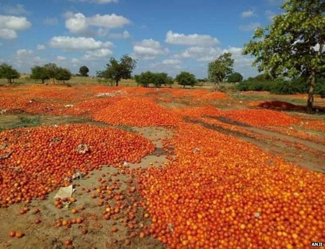 शेतकऱ्यांनी फेकलेला टोमॅटो
