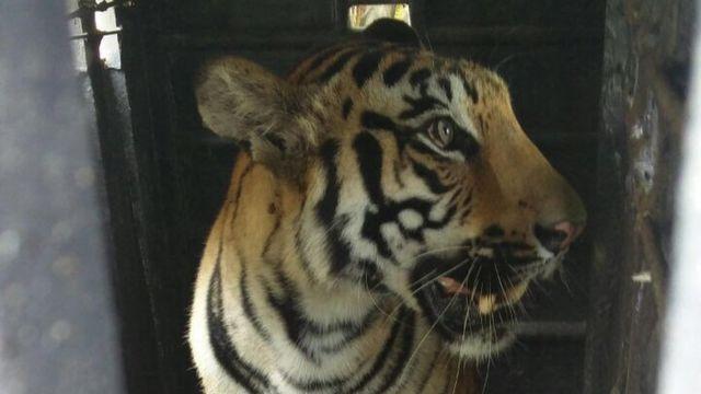 The tigress, , identified as 'T27 cub1
