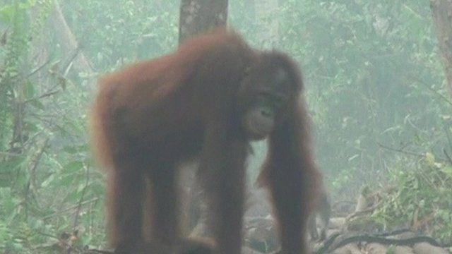 Orangutang in forest
