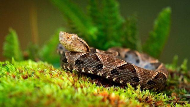 Serpente Bothrops atrox