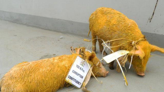 Deux cochons devant le siège du parlement Ougandais à Kampala; le 17 juin 2014.