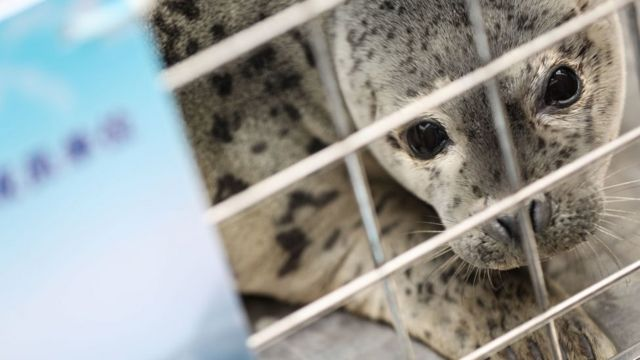 A spotted seal to be released back into the wild is seen in a cage on April 11, 2019 in Dalian