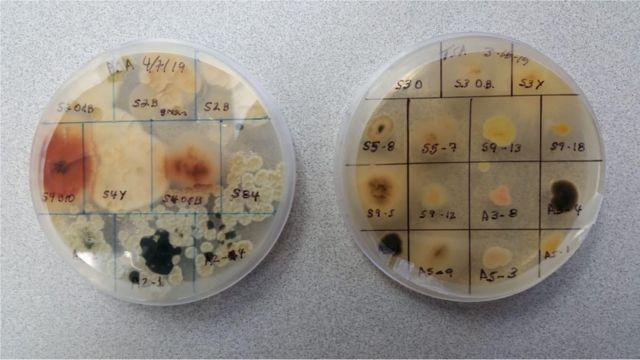 Duas placas com crescimento de diversas colônias de microorganismos