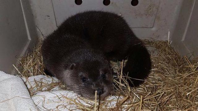 Orphaned baby otter in roadside rescue