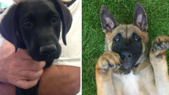 Puppies join North Wales Police to fight crime