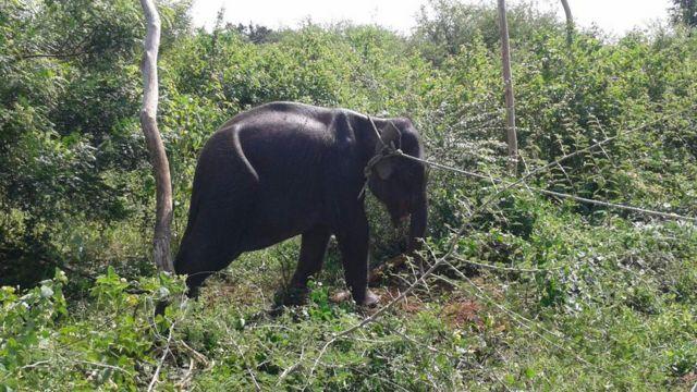 Hambantota Elephant