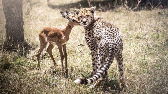 Antílope com leopardo