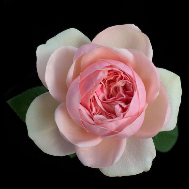 Rosa de David Austin