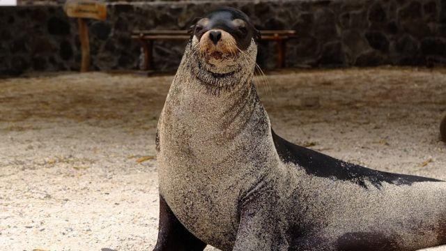 Lobo marino en Galápagos