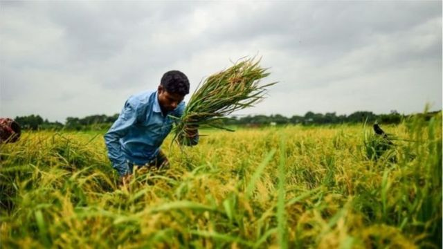 করোনা ভাইরাস: বাংলাদেশে চাষ না করে কৃষি জমি ফেলে রাখলে সরকার নিয়ে নেবে,  বিজ্ঞপ্তি জারী - BBC News বাংলা