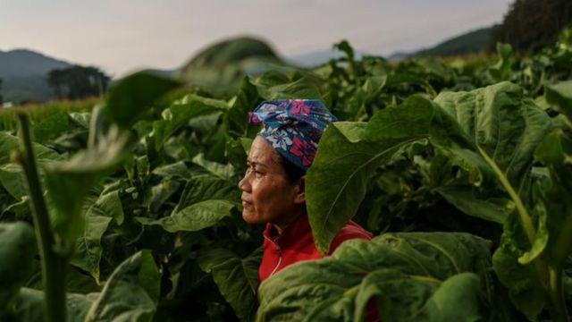 Uma trabalhadora migrante tailandesa cercada por folhas de tabaco em uma fazenda sul-coreana