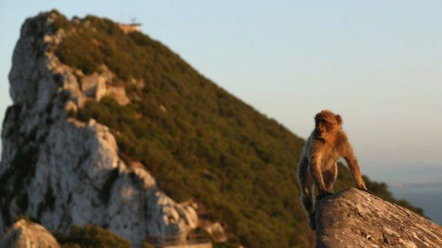 Mono en Gibraltar.