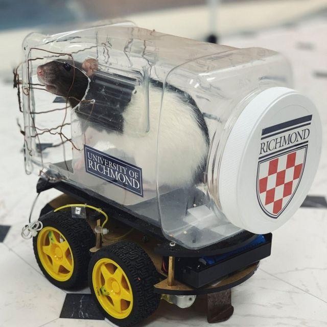 Un rat dans une petite voiture en plastique