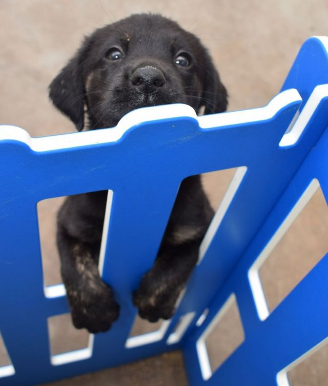 A puppy peers through a gate with a slightly manic look on its face