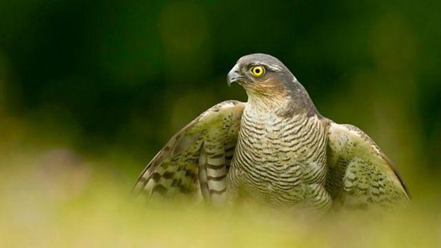Men attempt to steal sparrowhawk chicks in Edinburgh