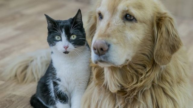 Golden Labrador and a black and white cat dey play togeda for hardwood floor.