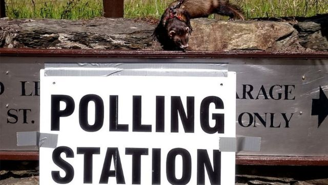 Polecat by a polling station sign