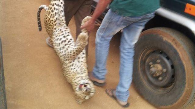A dead tiger at Yala