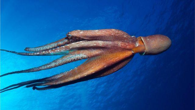 Un Octopus Cyanea.