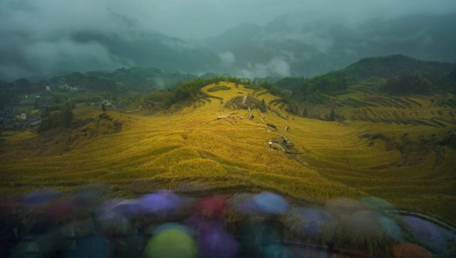 Hills covered in yellow rice plants with misty clouds behind