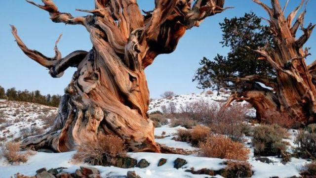Este es un ejemplar de Pinus longaeva del Bosque Nacional de Inyo (EE.UU.), pero no es Matusalén.