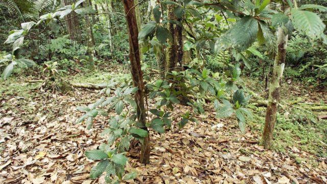 Jardim do 'Diabo do Amazonas'