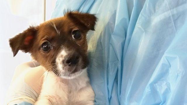 ジャック・ラッセル・テリア犬のルナは、法定年齢に達していないにもかかわらずネットで販売されていた