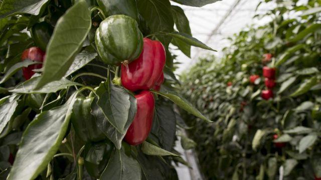 Des poivrons issus de semences génétiquement modifiées Monsanto.