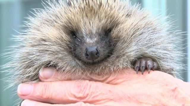 Freddie the hedgehog sits in the hands of Joan Lockley who rescued him