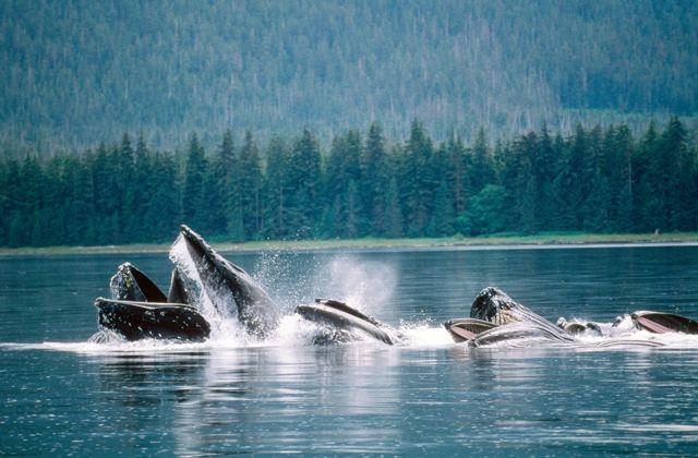 Baleias no Alasca se alimentando