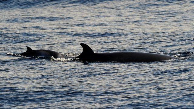 シドニー沖のミンククジラ(2010年6月撮影)