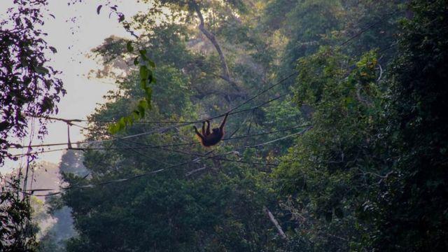 Orangutan on a man-made bridge in Borneo