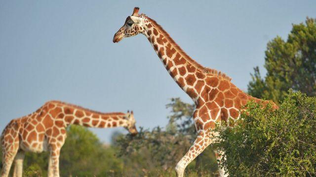 La taille impressionnante de la girafe en fait une cible facile pour les chasseurs et les braconniers