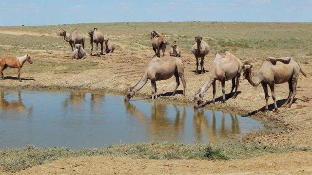 Camellos tomando agua