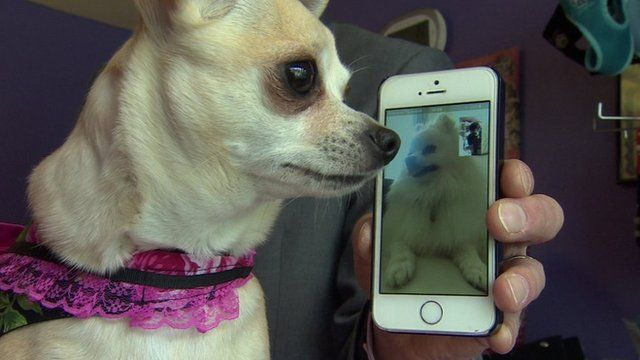 Chi Chi the Chihuahua and Harvey the Pomeranian on video call