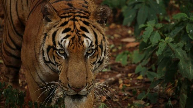 Thailand tiger farms: Hunting the traffickers
