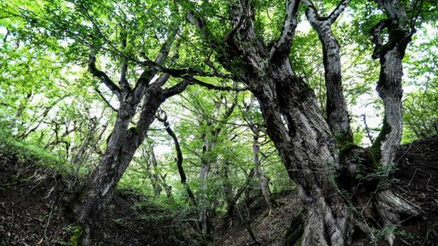 Bosque mixto hircanio del Caspio