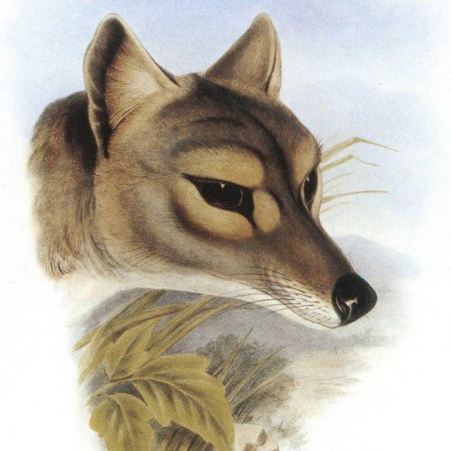 Ilustración del tigre de Tasmania