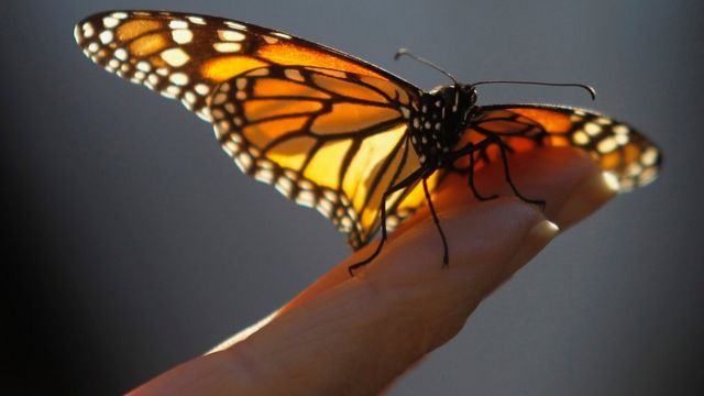 A monarch butterfly on a visitor's hand at the Monarch Grove Sanctuary in Pacific Grove, California. 30 December 2014.