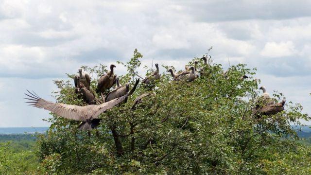 吸引秃鹫每天来秃鹫餐厅进食,该团队能保证它们能每天吃到安全的一餐。