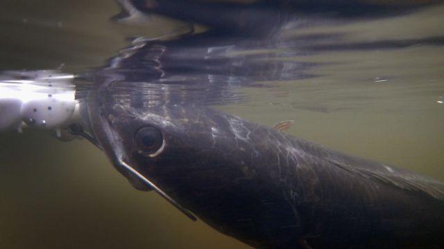 Ikan gabus di permukaan.