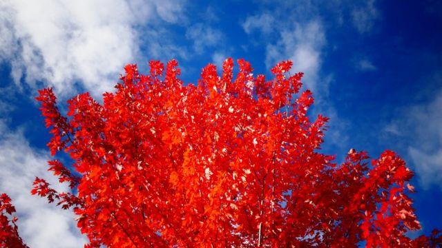 Árbol con hojas rojas.
