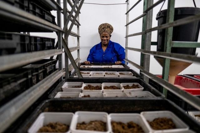 Woman looking at trays of fly larvae